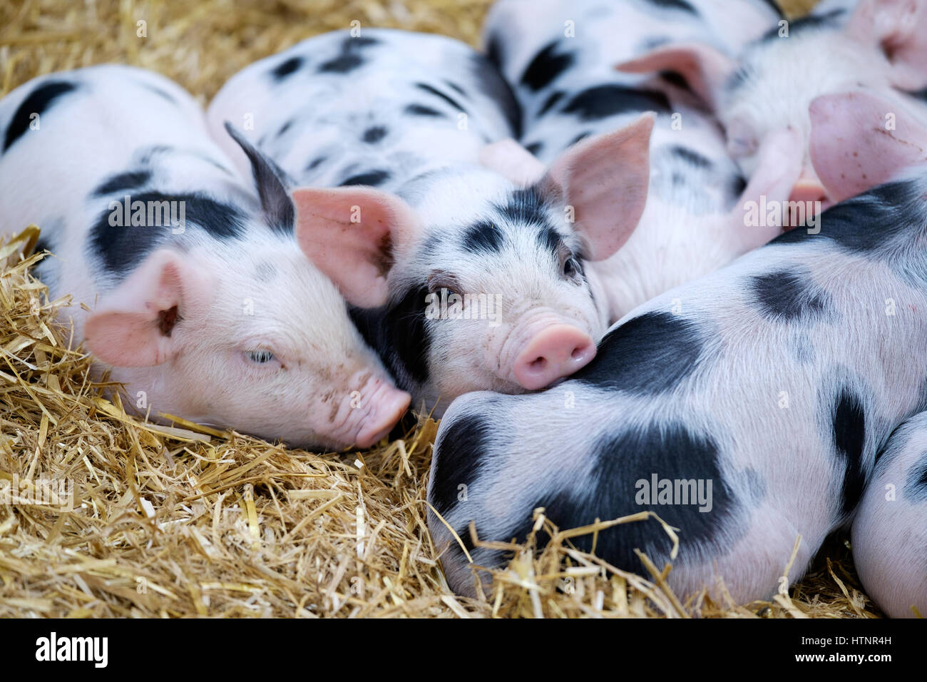 a-litter-of-gloucestershire-old-spot-pig