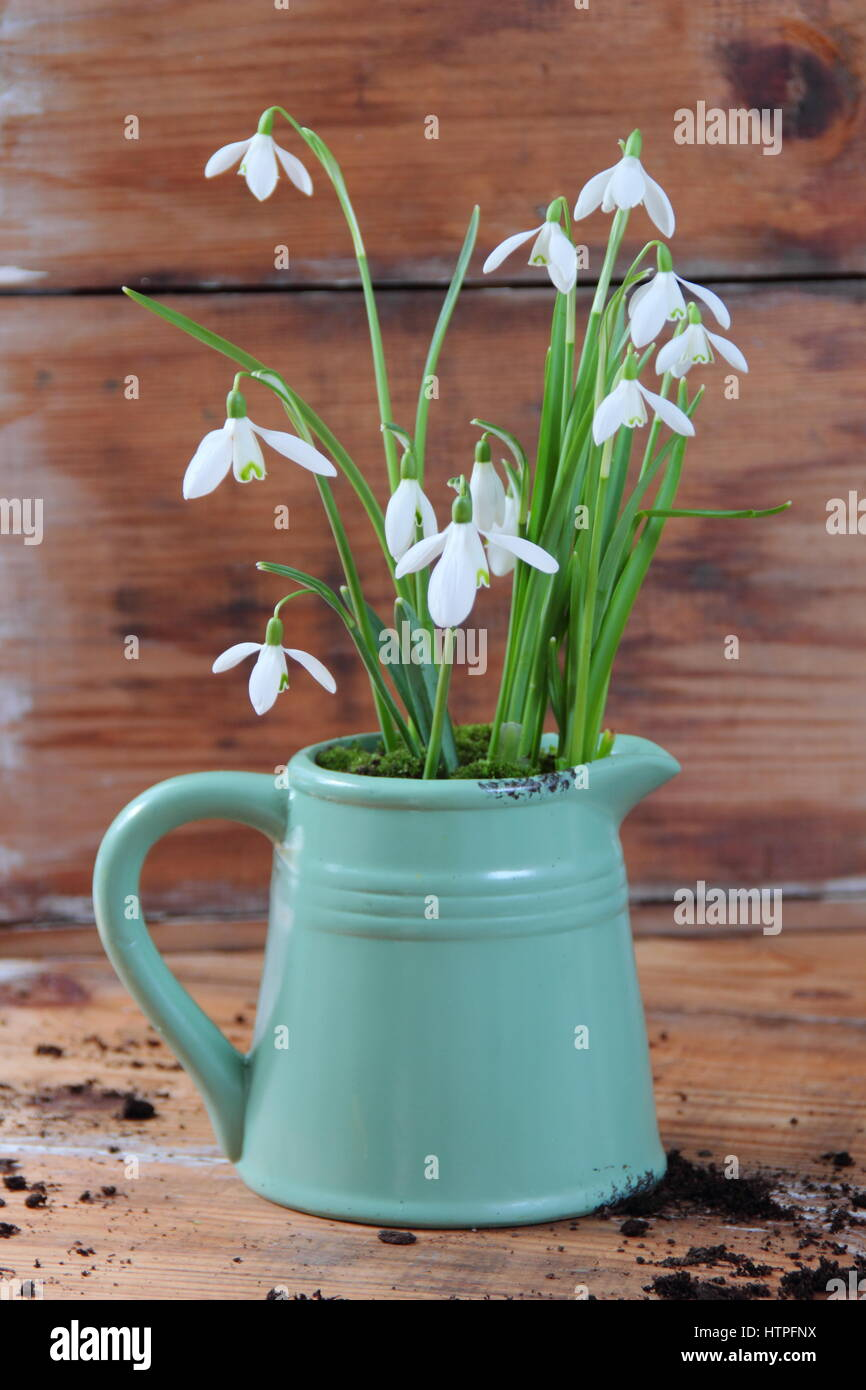 Snowdrops (galanthus nivalis) planted in a vintage style enamel jug against wooden background in February Stock Photo