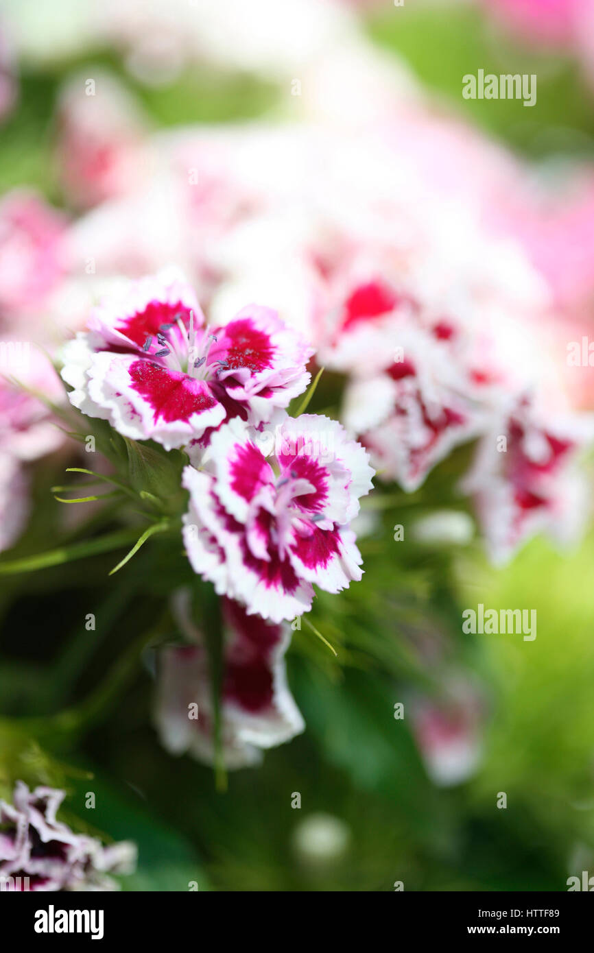Pretty Red And White Sweet Williams Language Of Flowers Gallantry