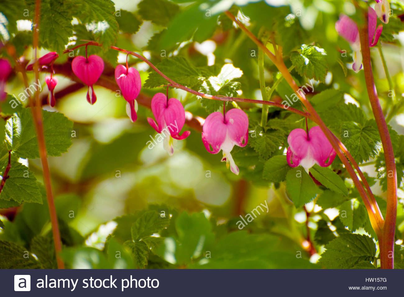 Romantic and dreamy midsummer in Sweden, oldfashioned flower called Bleeding-heart or Asian bleeding-heart. - Stock Image