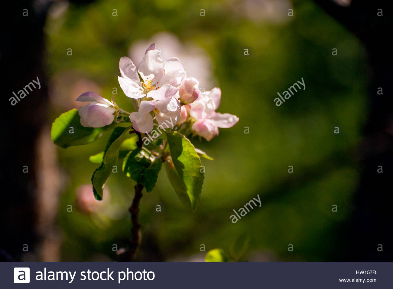 Romantic pink and white apple-blossom in Spring. - Stock Image
