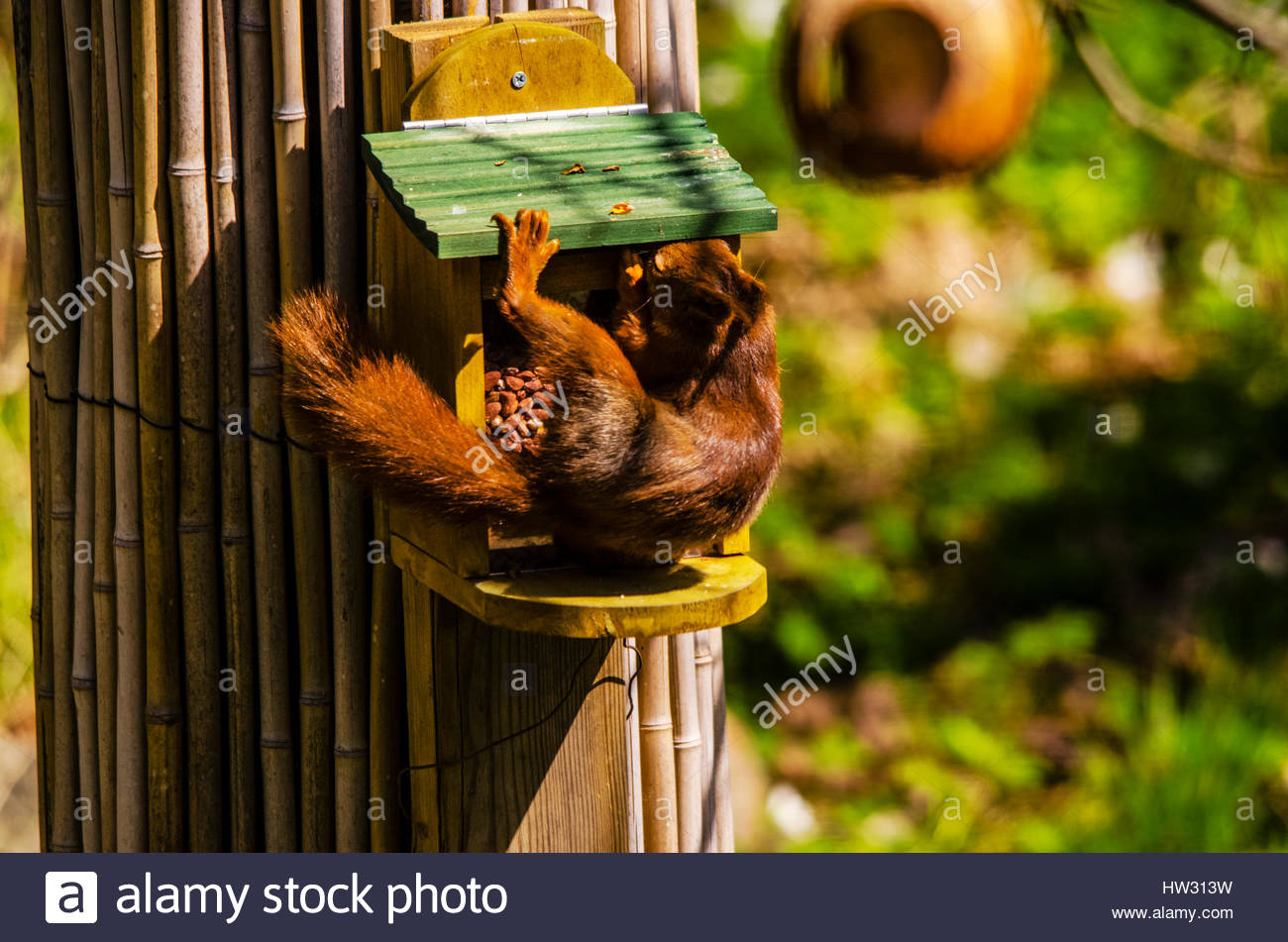 Squirrel eating from his own feeder in the garden. - Stock Image
