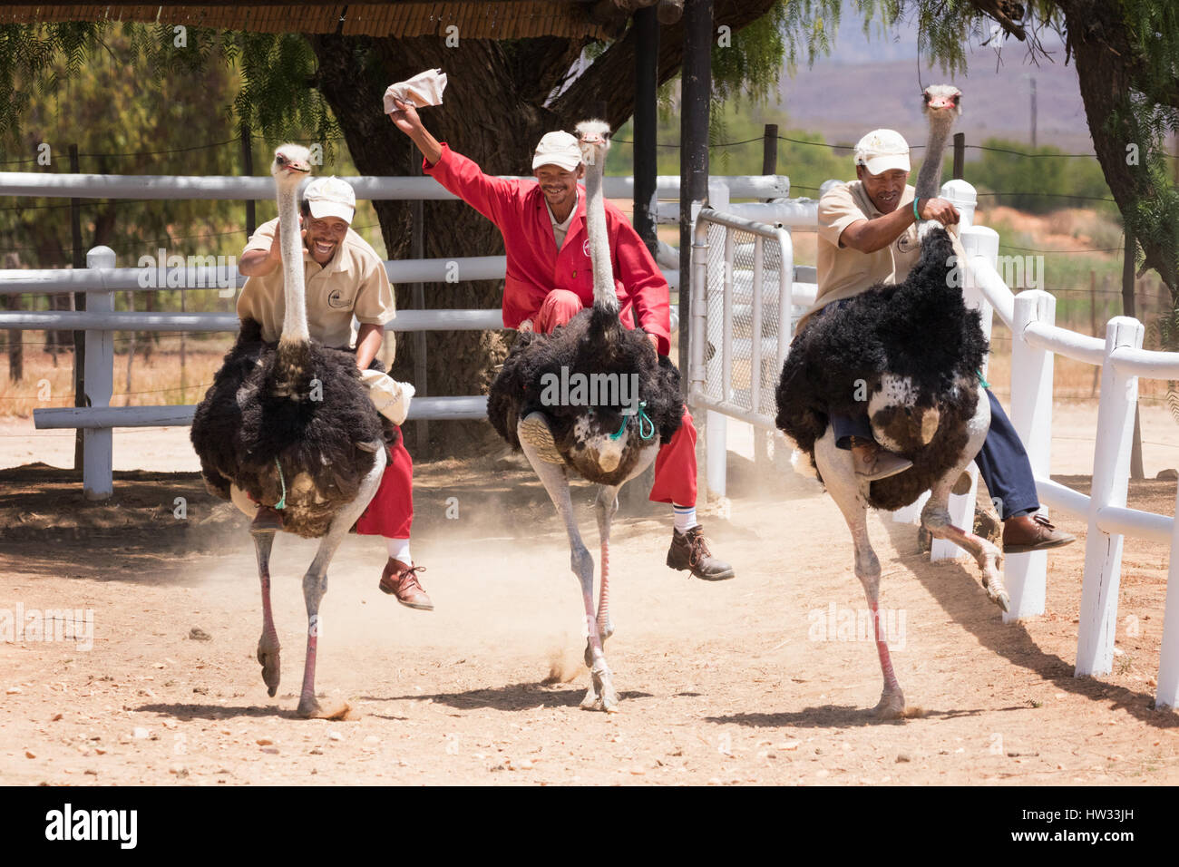 ostrich-racing-an-example-of-south-africa-tourism-highgate-ostrich-HW33JH.jpg