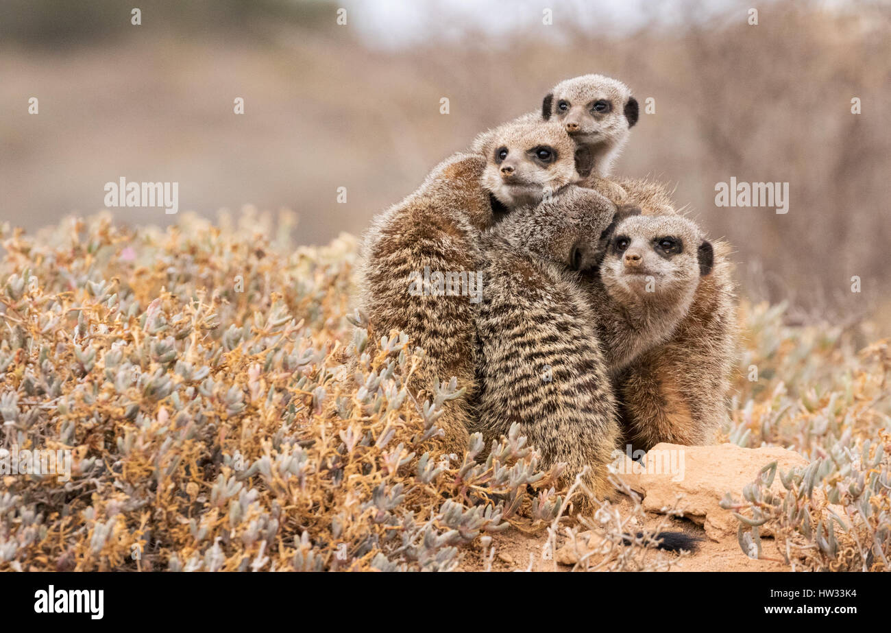 meerkats-suricata-suricatta-group-of-meerkats-by-their-burrow-at-dawn-HW33K4.jpg