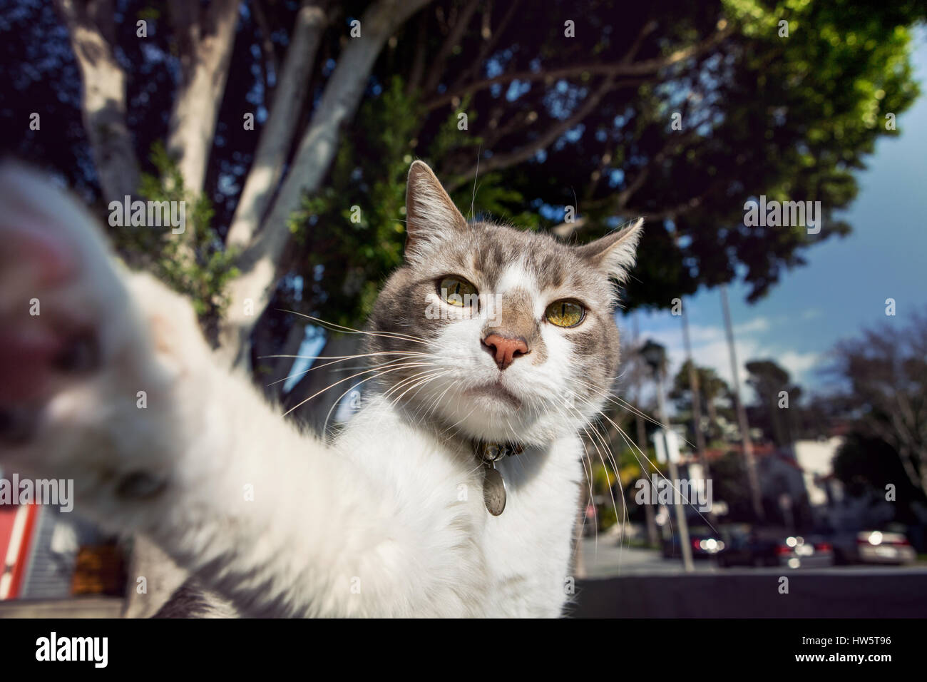 White and gray cat -- with paw extended toward camera --taking a selfie outdoors on a sunny day. - Stock Image