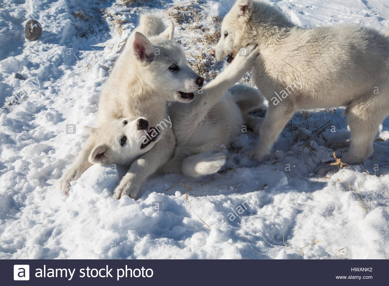 Greenland Sled Dogs Playing Stock Photo