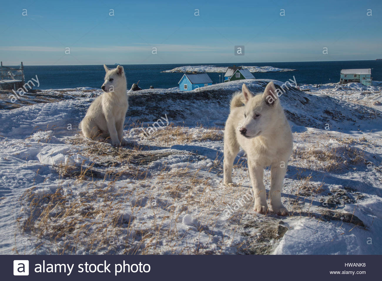 Sled Dogs in Greenland Stock Photo