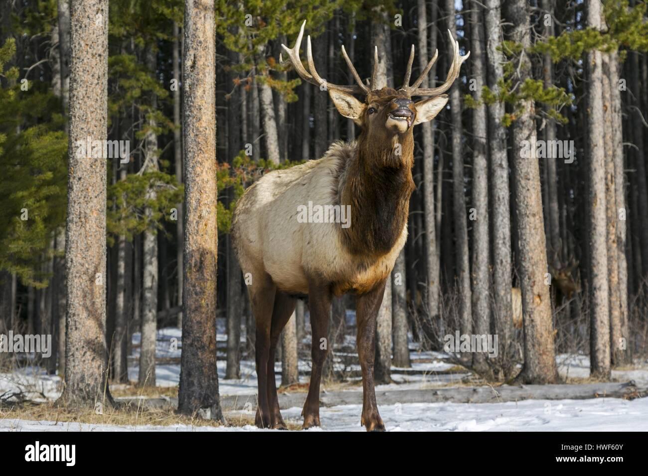 young-bull-deer-during-rut-season-lookin