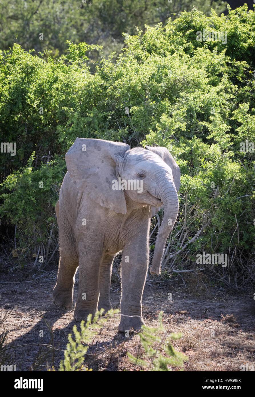 baby-elephant-african-elephant-loxodonta-africana-south-africa-HWG9EX.jpg