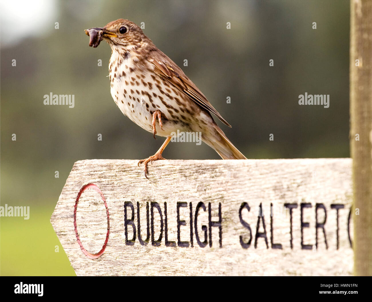a-song-thrush-turdus-philomelos-holding-