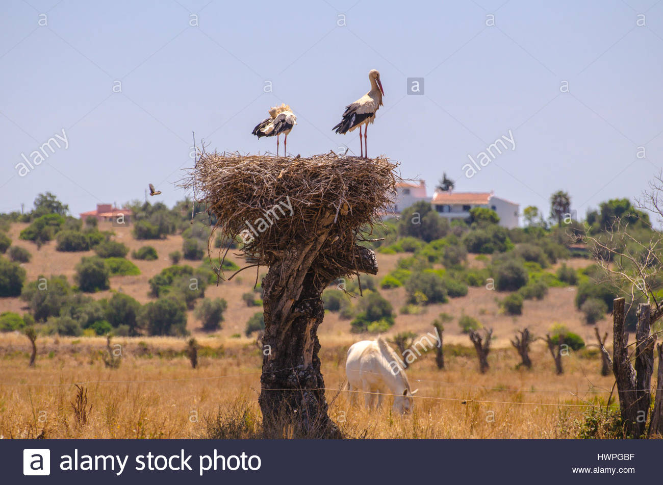 Sorks in their nest and a horse. - Stock Image