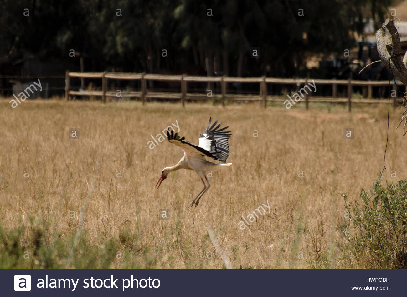 A lonely stork in flight. - Stock Image