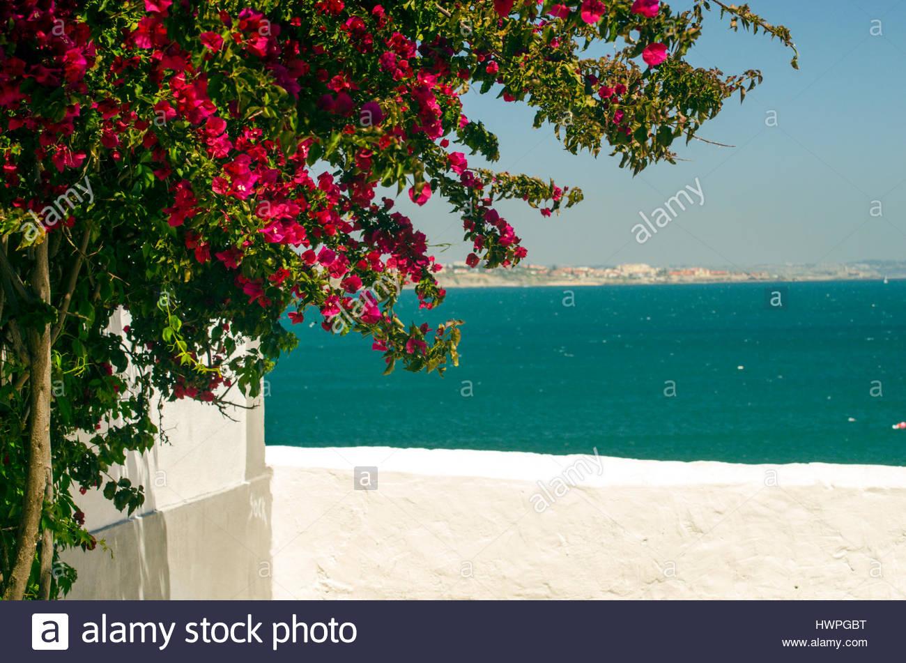 Bougainvillea by the sea in Portugal. - Stock Image