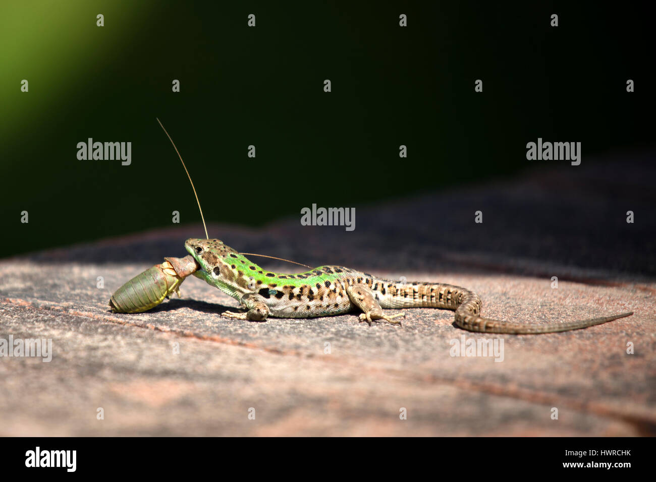 an-italian-green-wall-lizard-holding-a-f