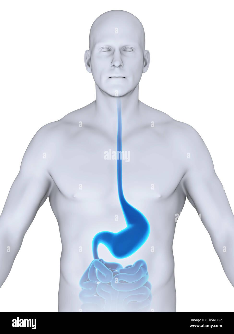 Human Stomach Anatomy Stock Photo: 136354514 - Alamy