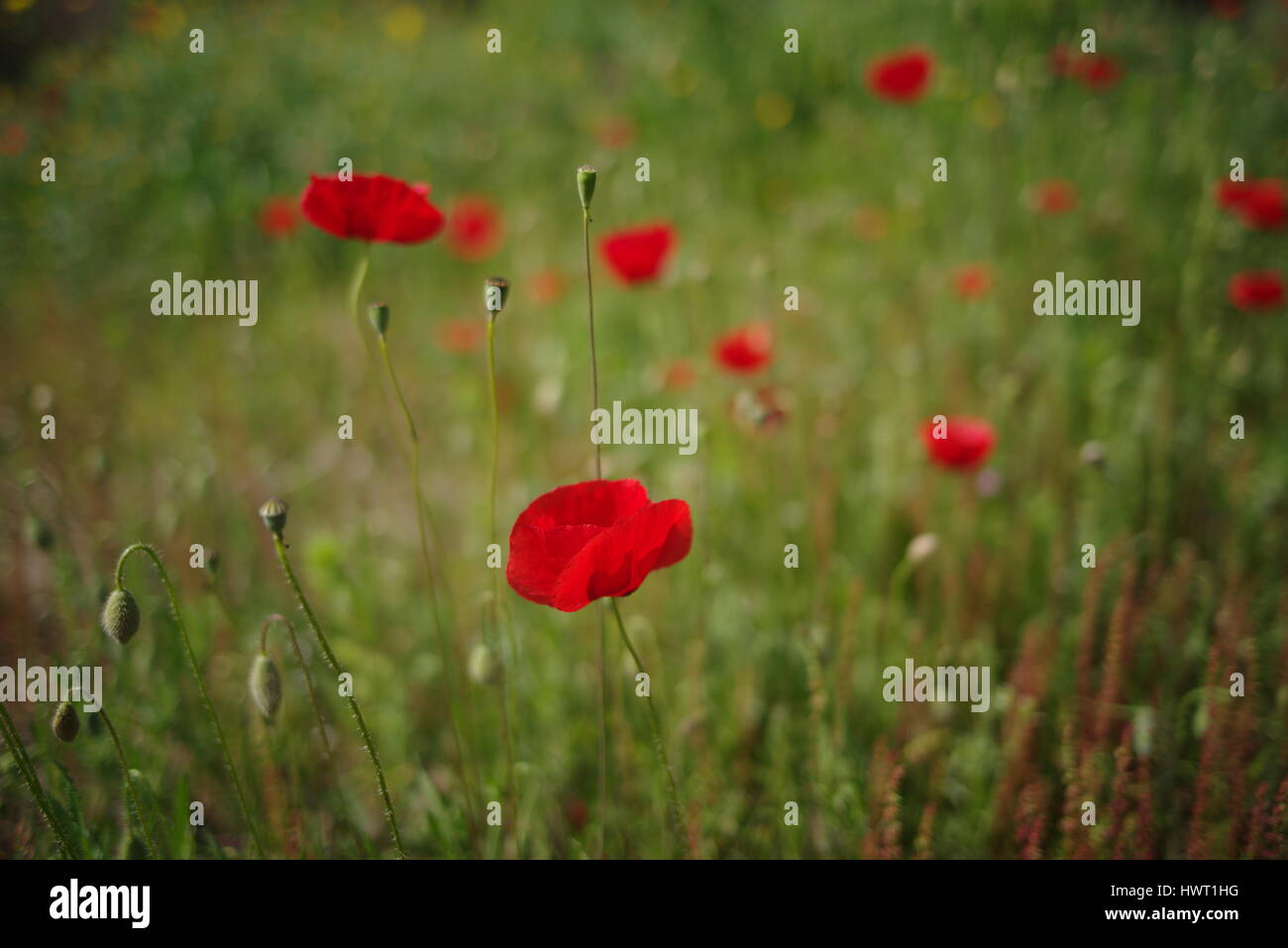 Heroin opium poppy stock photos heroin opium poppy stock images 2017 new photo picture of poppy and poppies in field to show red and green mightylinksfo Image collections
