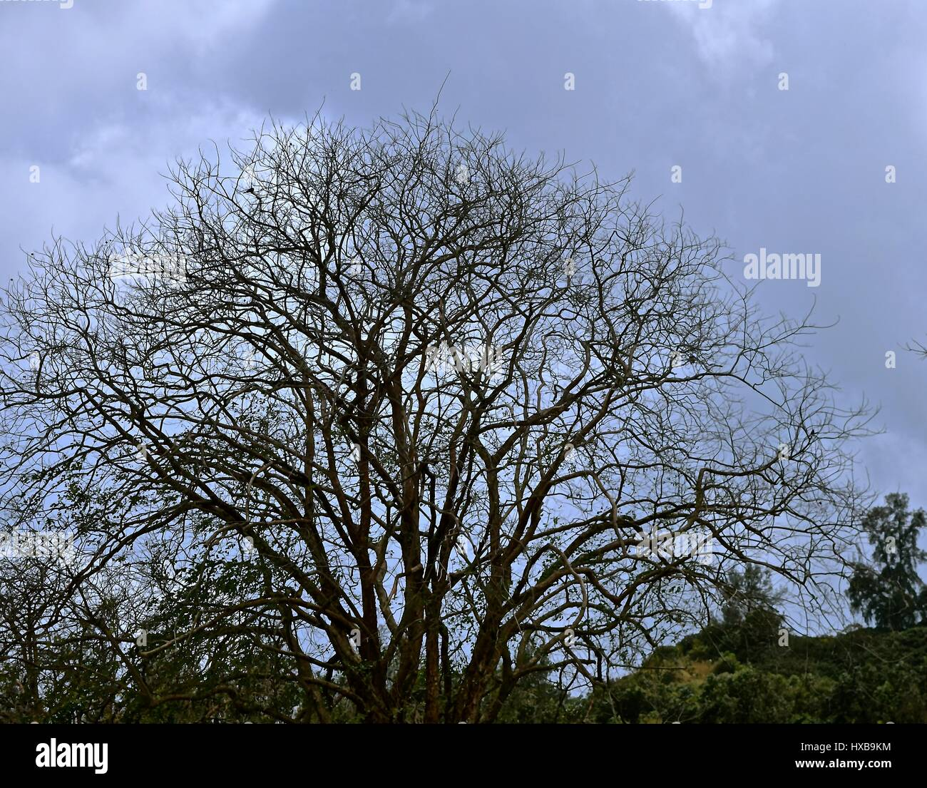 Bare Tree / Leafless tree signifying sorrow or death. - Stock Image