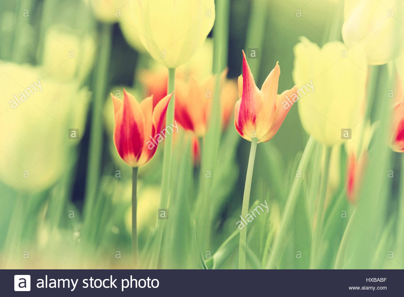 Sunny Vintage Colored Beautiful Tulip Flowers Background Beautiful
