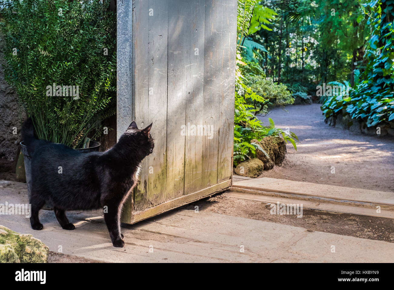 Curious black cat infront of vintage garden doors with bright green  tropical plants on background - Curious Black Cat Infront Of Vintage Garden Doors With Bright Green