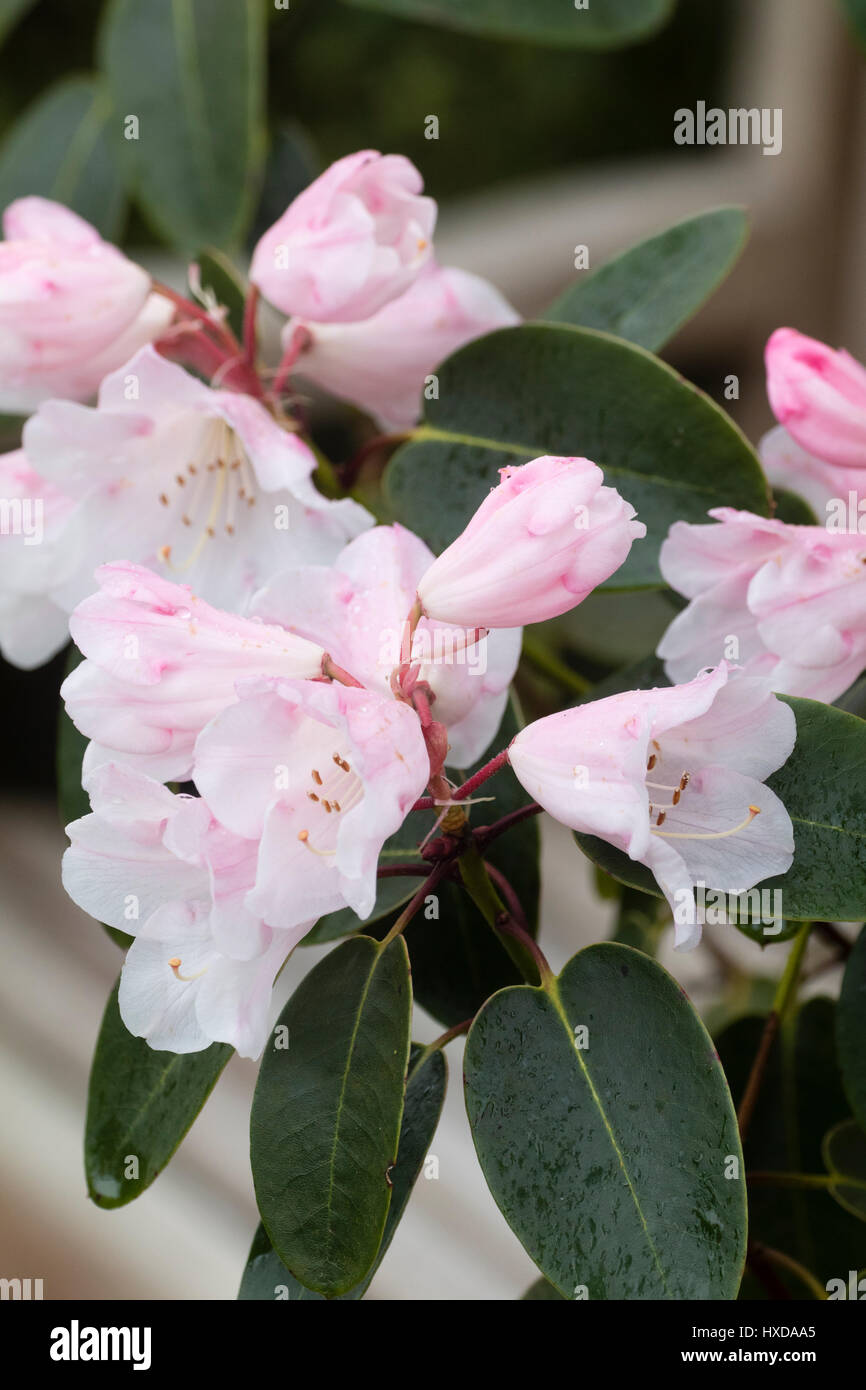 Delicate pink and white spring flowers of the hardy evergreen shrub delicate pink and white spring flowers of the hardy evergreen shrub rhododendron brocade mightylinksfo