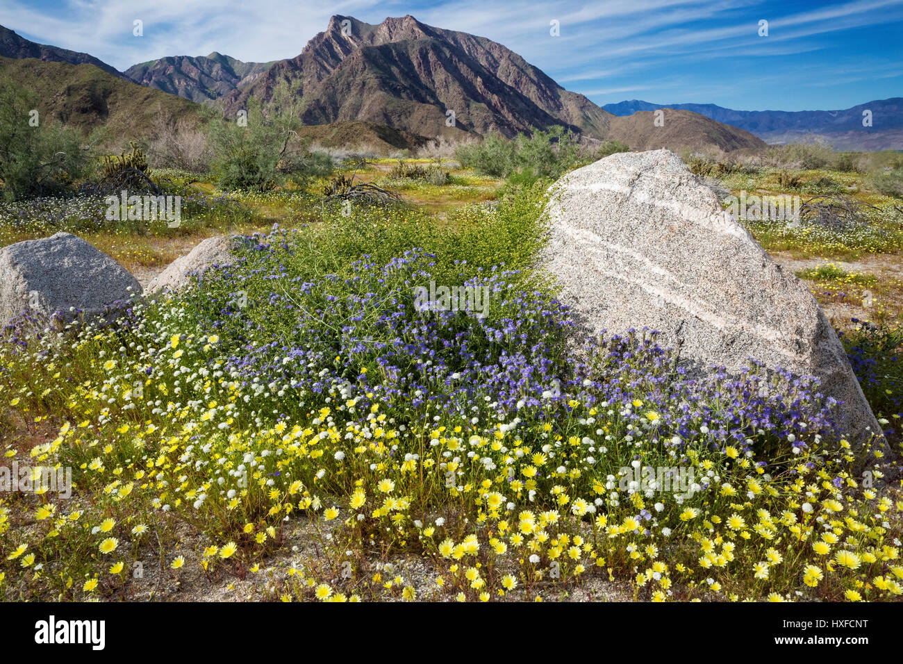 Spring flowers blooming in anza borrego desert state park stock spring flowers blooming in anza borrego desert state park california usa 2017 mightylinksfo