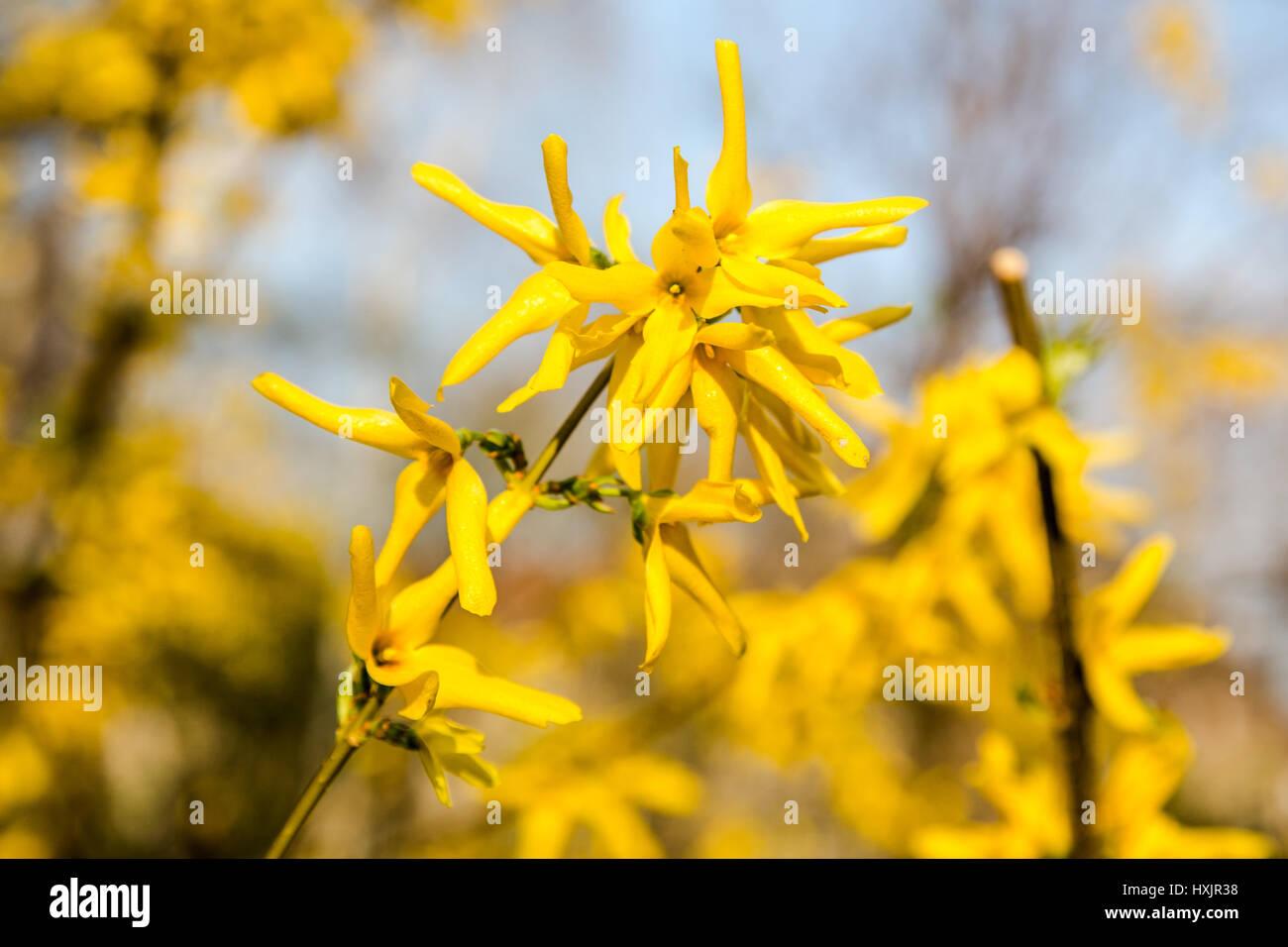 Spring bush of yellow flowers forsythia in bloom on pretty sunny day spring bush of yellow flowers forsythia in bloom on pretty sunny day mightylinksfo