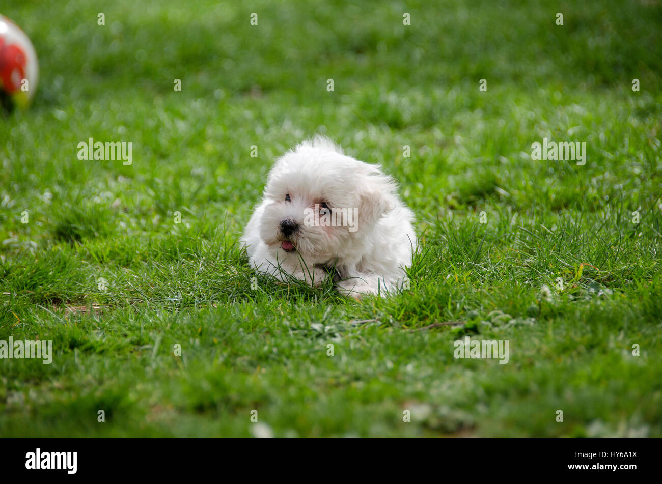 Maltese Pup Stock Photos Amp Maltese Pup Stock Images Alamy
