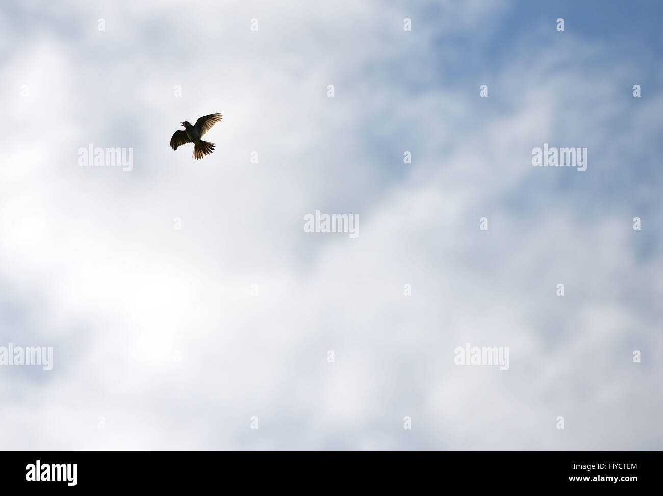 Skylark flying and singing on a spring day in the South Downs National Park - Stock Image