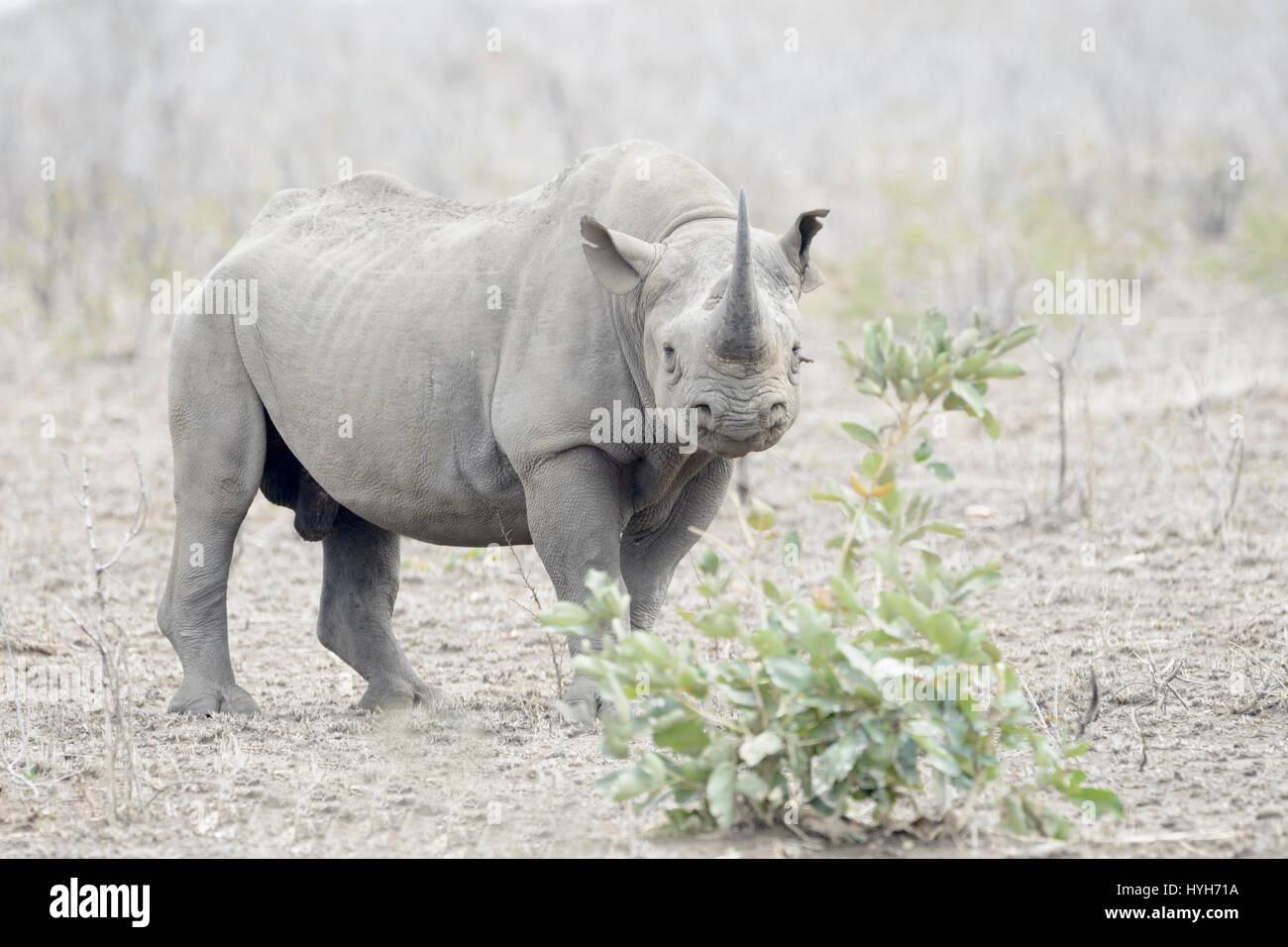 Black Rhinoceros (Diceros bicornis) standing on savannah, looking at camera, Kruger National Park, South Africa - Stock Image
