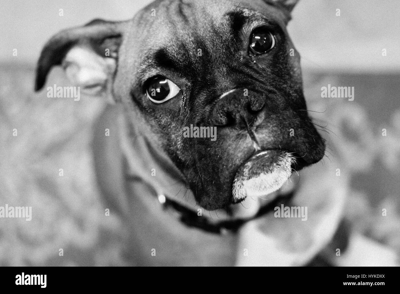 Best Boxer Black Adorable Dog - black-and-white-portrait-image-of-an-adorable-boxer-dog-puppy-adolescent-HYKDXX  Gallery_973559  .jpg