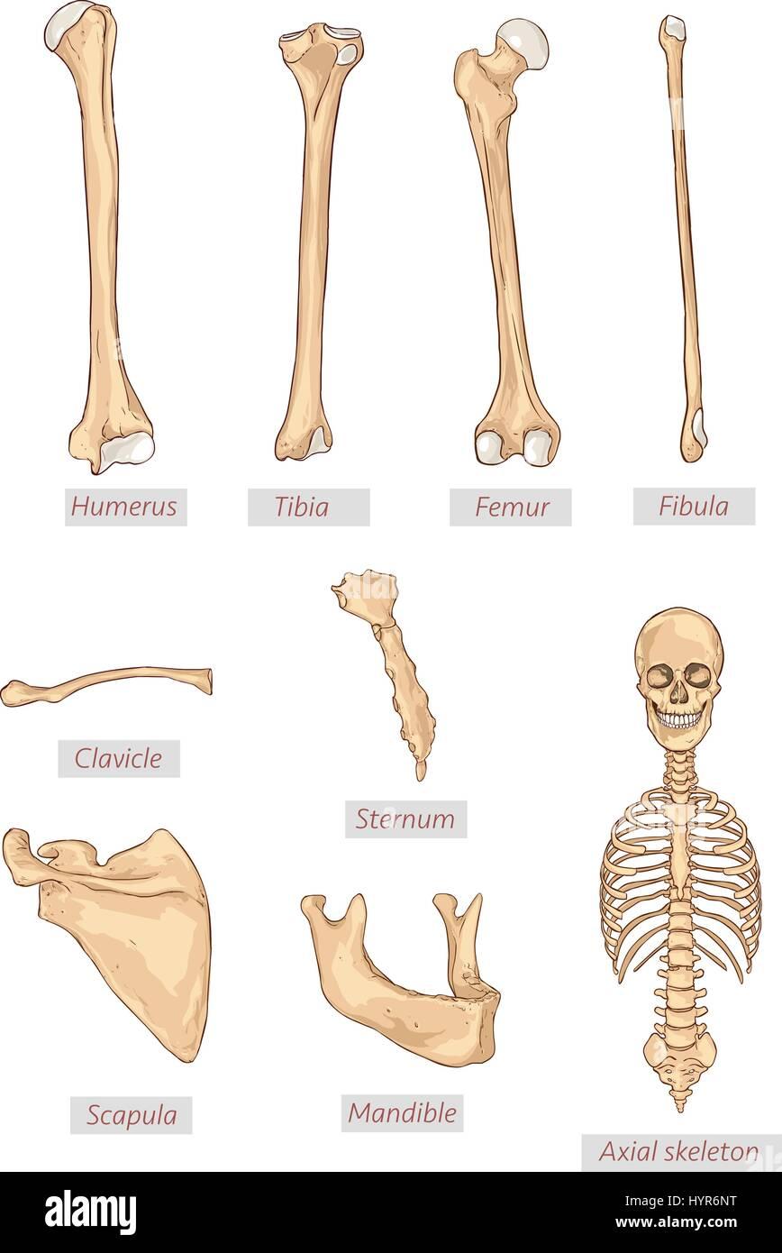 Diagram Of Femur And Humerus
