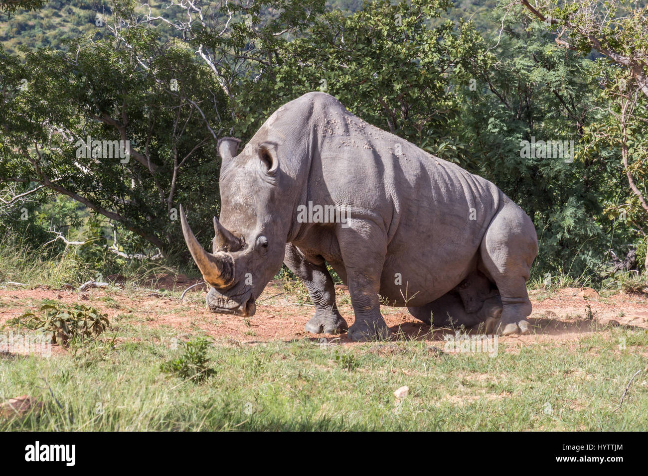 An adult white rhino bull resting in the Marakele national park, south africa - Stock Image