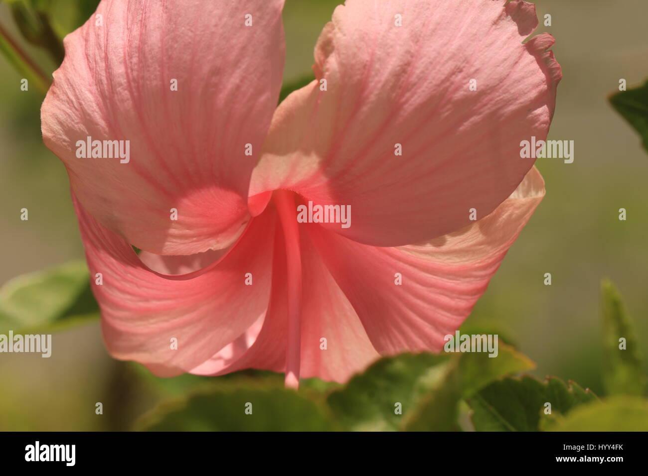 Tropical pink hibiscus growing in jamaica stock photo 137664567 alamy tropical pink hibiscus growing in jamaica izmirmasajfo