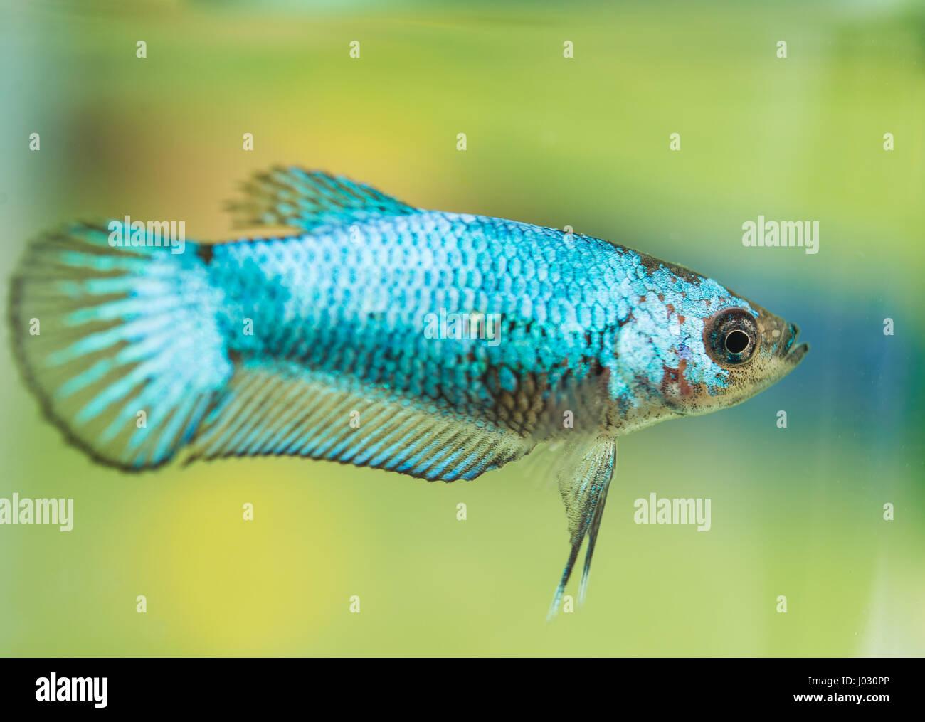 Young Betta Splendens Female Fish Stock Photo: 137749438 - Alamy