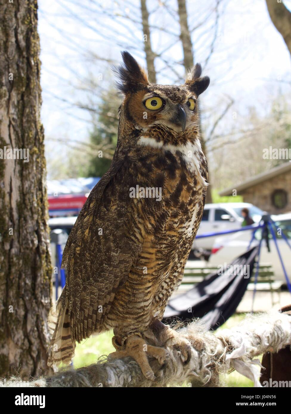 Great Horned Owl Face - Stock Image