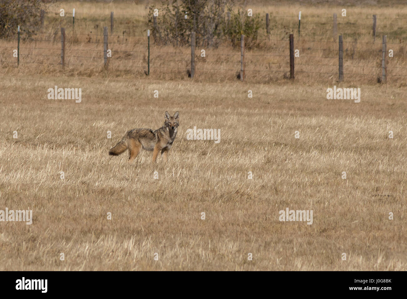 A coyote hunts in a dry, autumn field - Stock Image
