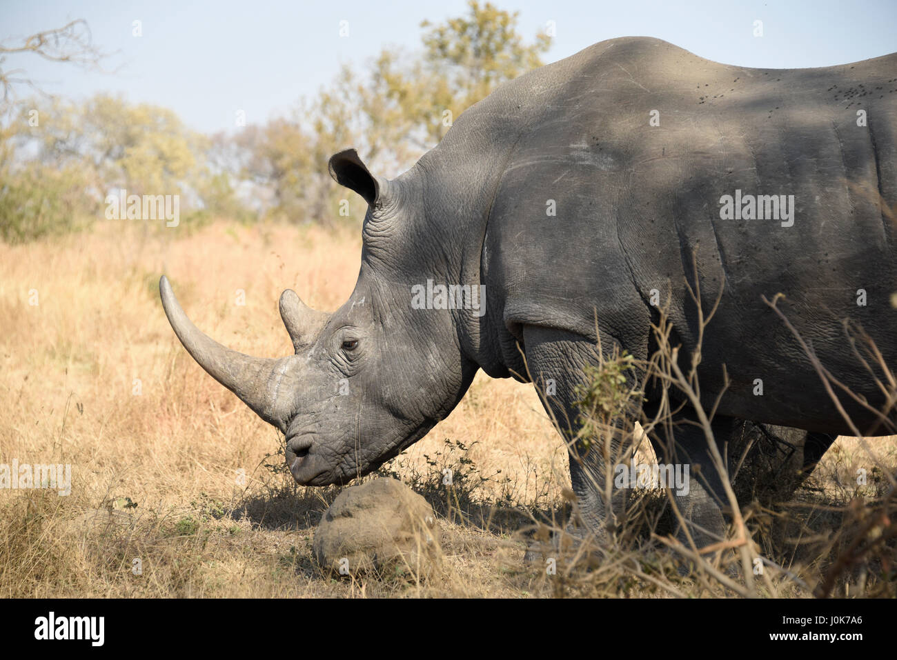 White rhino standing still in the shade of a tree in Kruger National Park - Stock Image