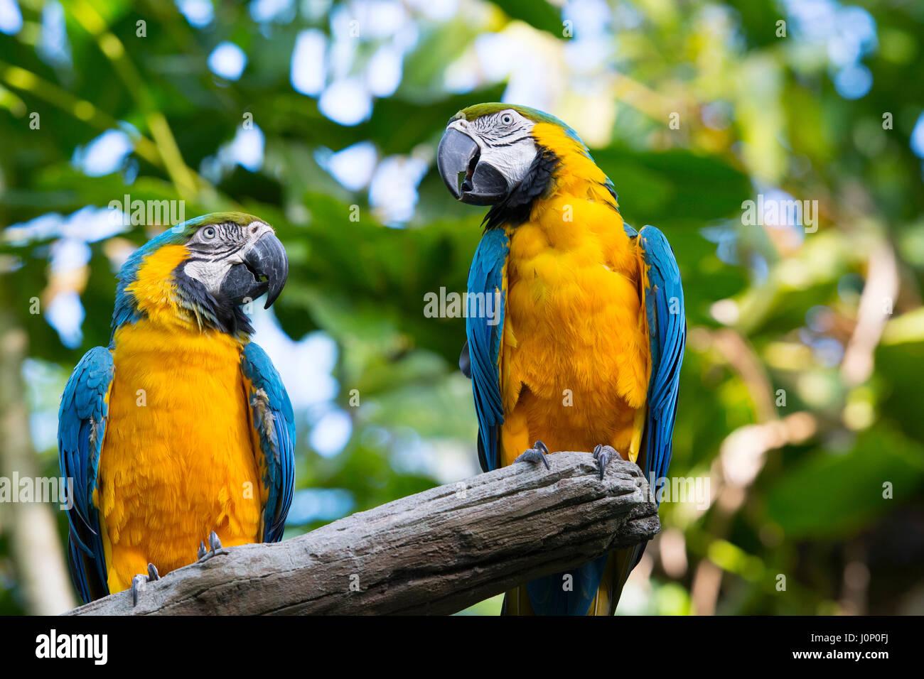 Macaw Parrots, Blue and Yellow Gold, Disney Animal Kingdom, Disney World, Orlando Florida - Stock Image
