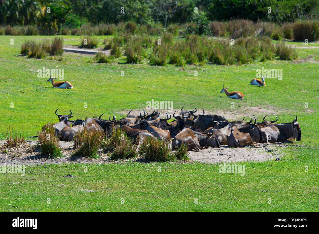 Animals, Wildebeest at Disney Animal Kingdom, Disney World, Orlando Florida - Stock Image