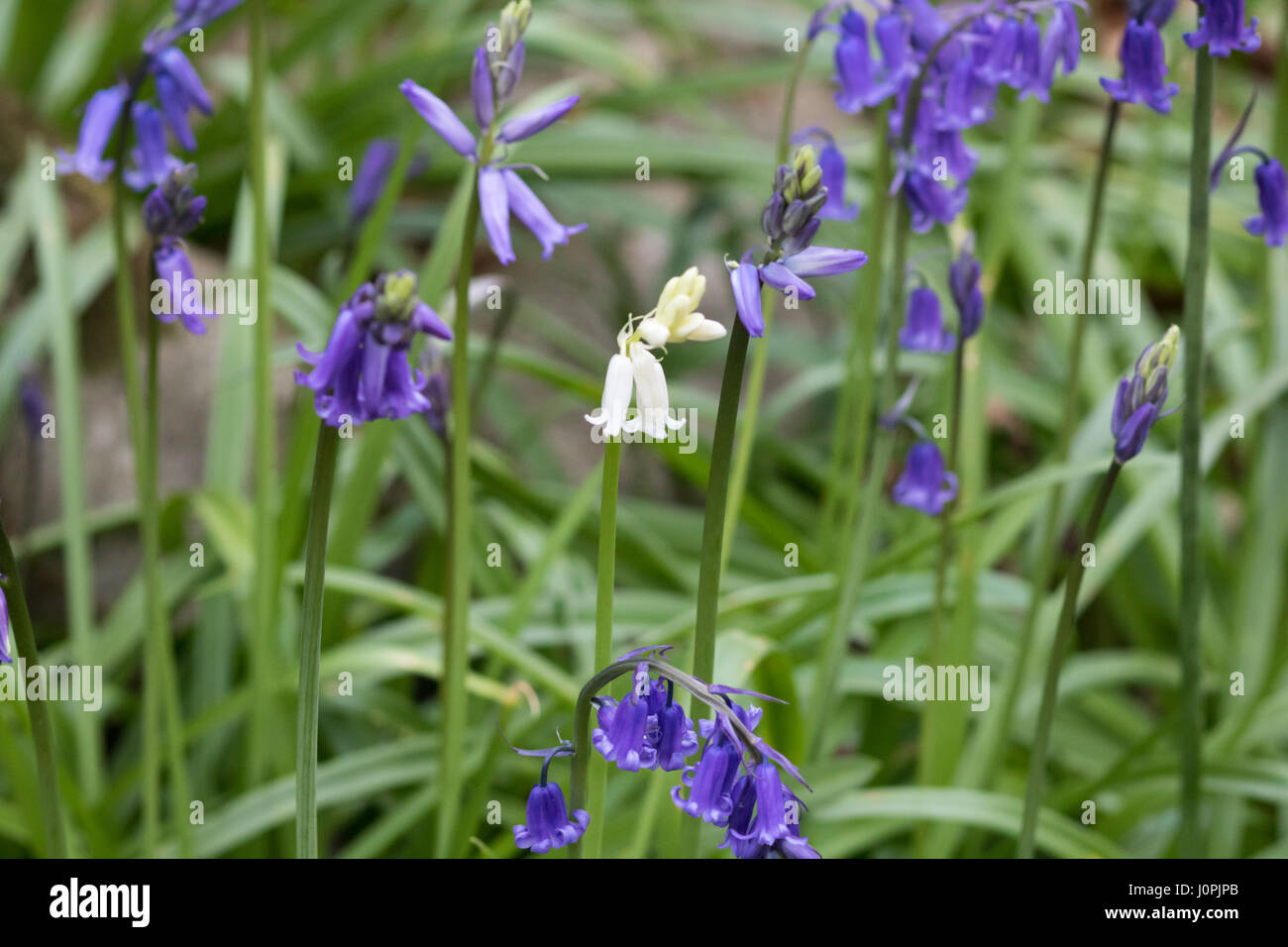 White Bluebell Flower Surrounded By Blue Bluebell Flowers Stock