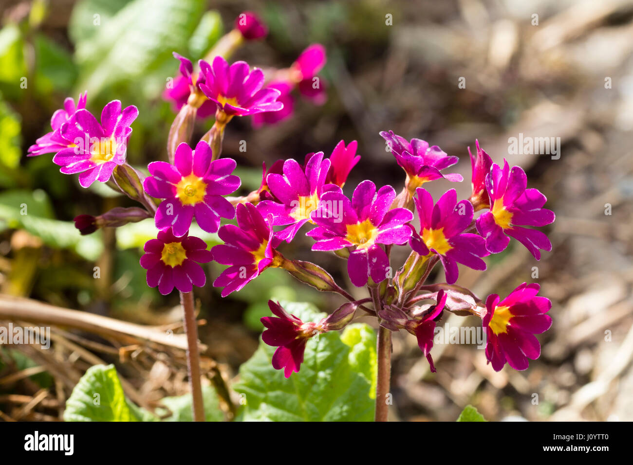 Deep Pink Primrose Flowers In The Polyantha Type Heads Of The