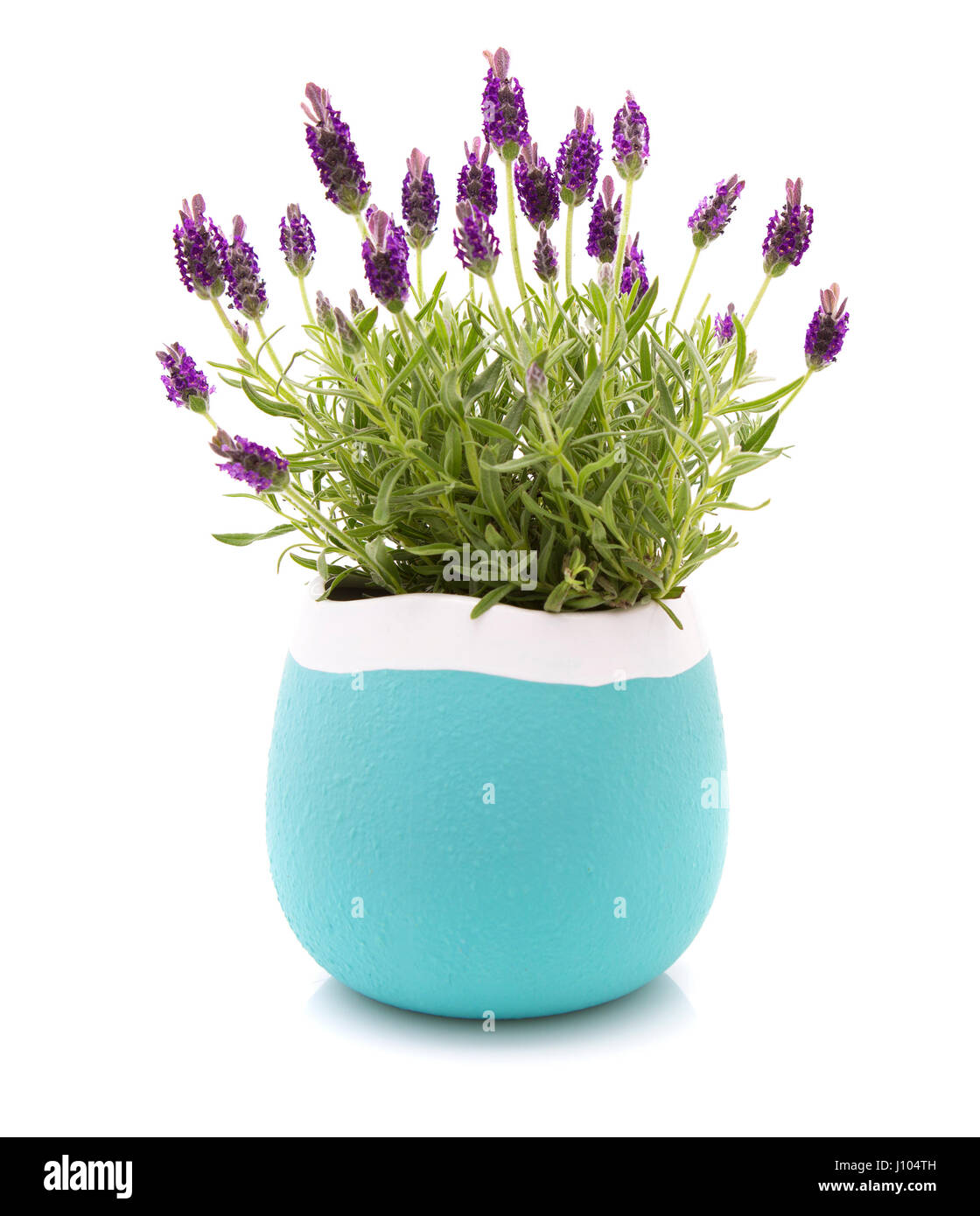 Lavender stoechas plant in a blue and white flower pot on white lavender stoechas plant in a blue and white flower pot on white background mightylinksfo