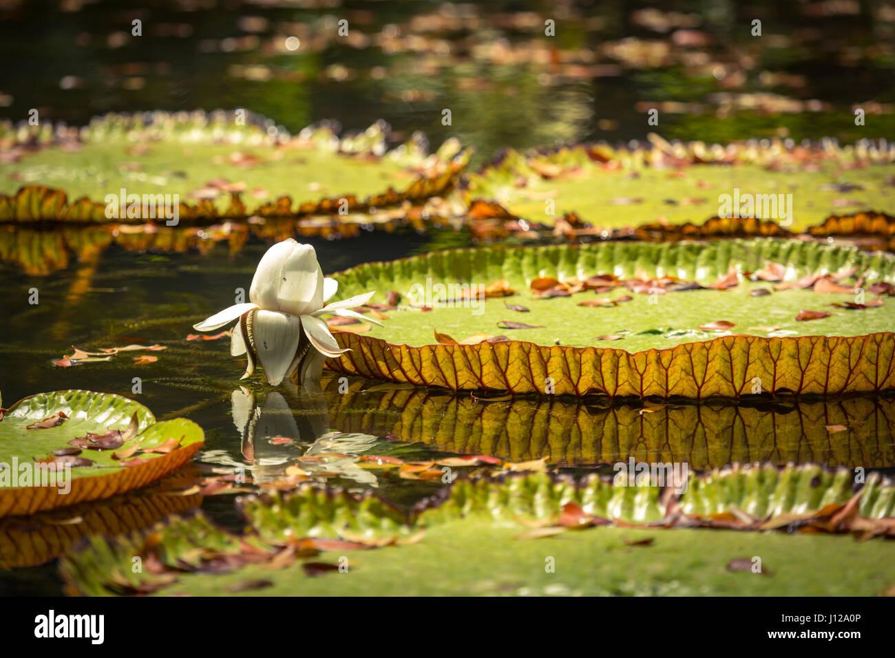 Giant Waterlilies in Mauritius Botanical gardens Stock Photo ...