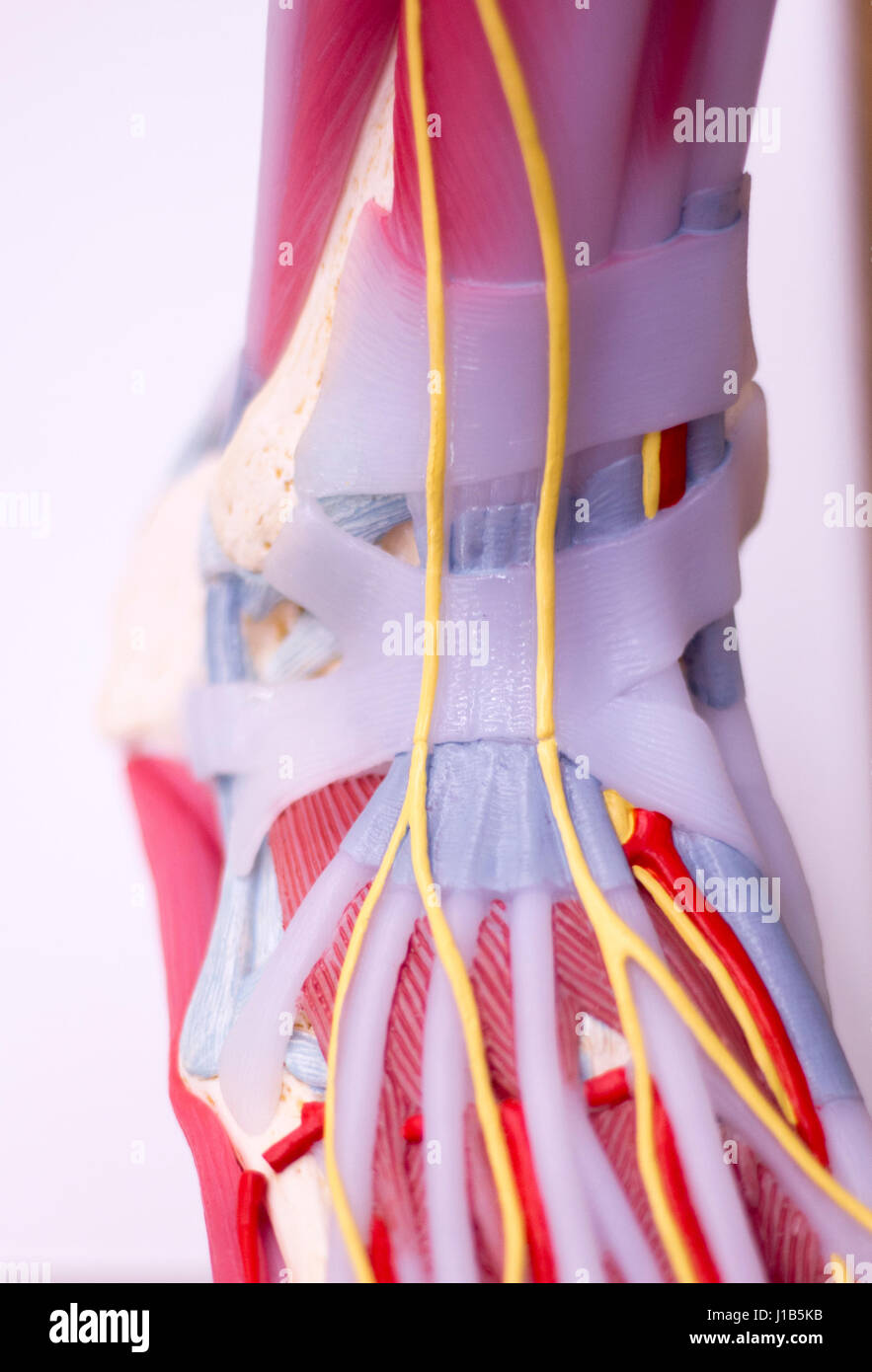 Foot Medical Study Student Anatomy Model Showing Bones Toes Stock