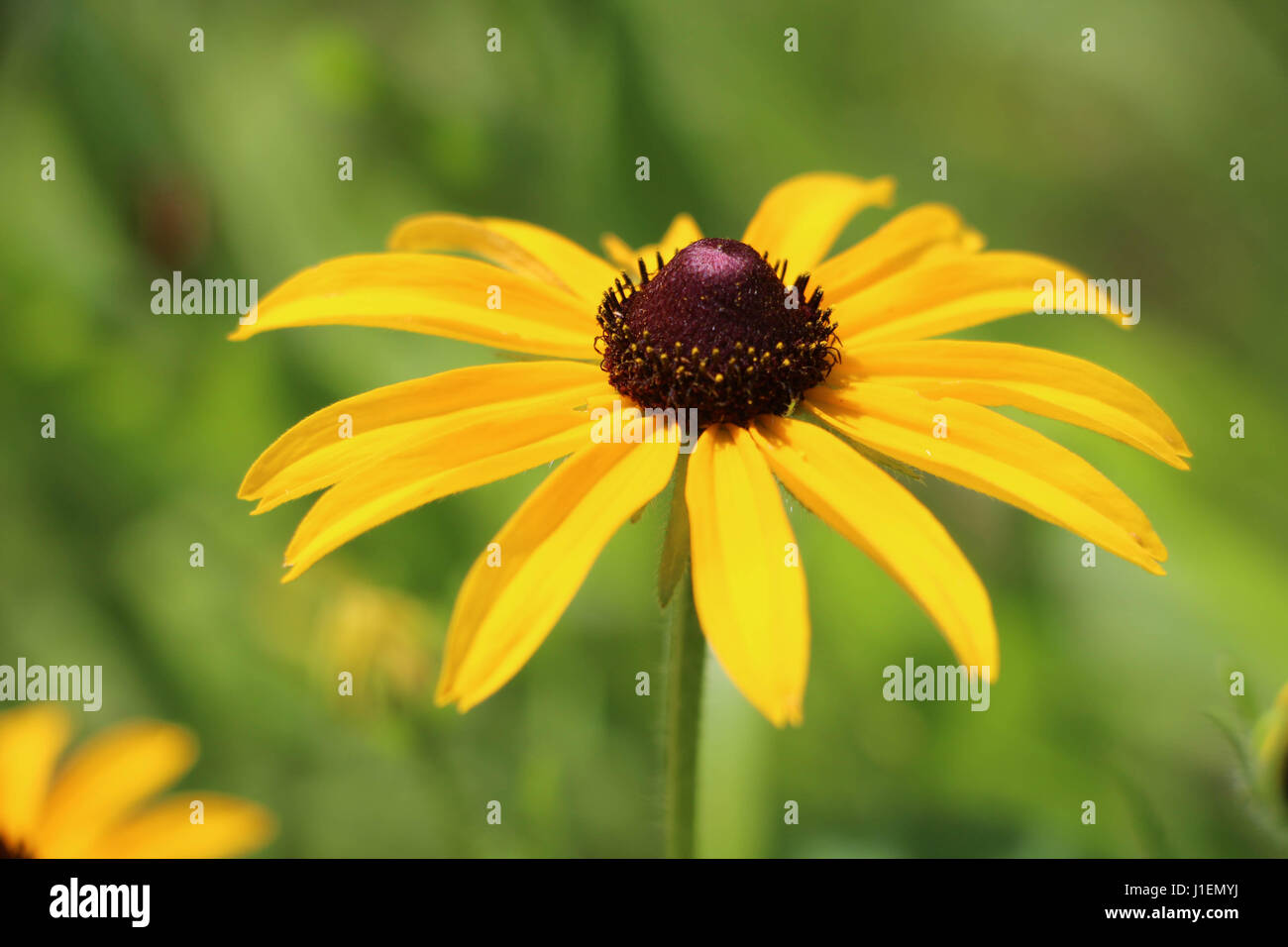 Yellow Coneflower Closeup Stock Photo 138621382 Alamy