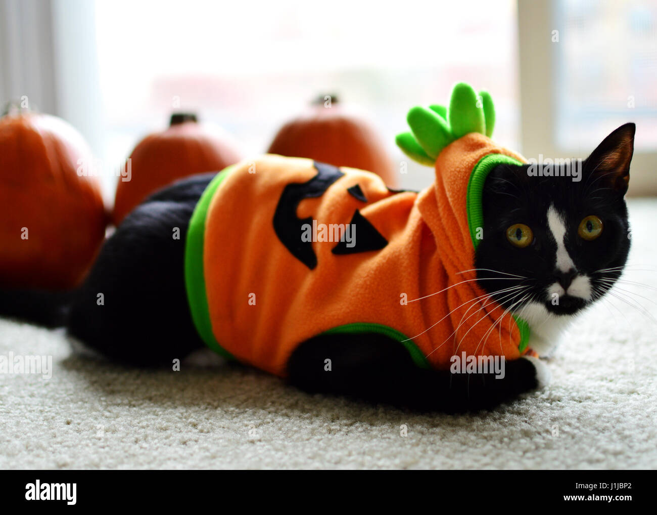 black and white cat in pumpkin halloween costume stock photo
