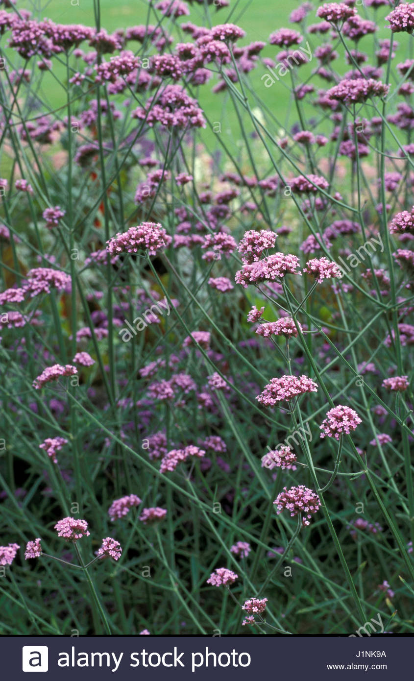 Verbena bonariensis pink tiny flowers on long stems stock photo verbena bonariensis pink tiny flowers on long stems mightylinksfo