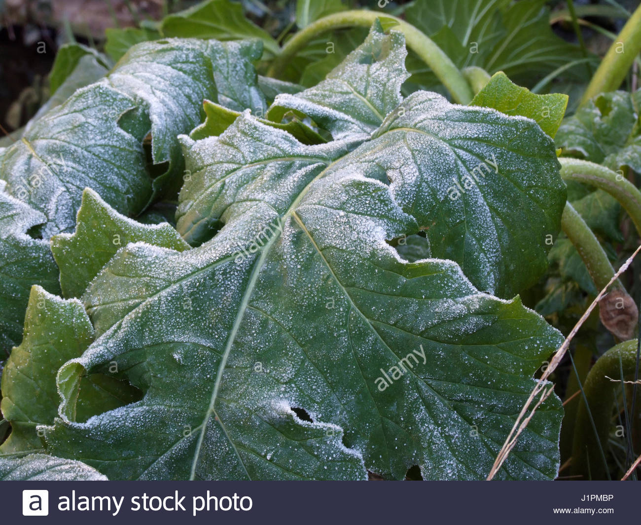 FROST ON ACANTHUS LEAVES - Stock Image