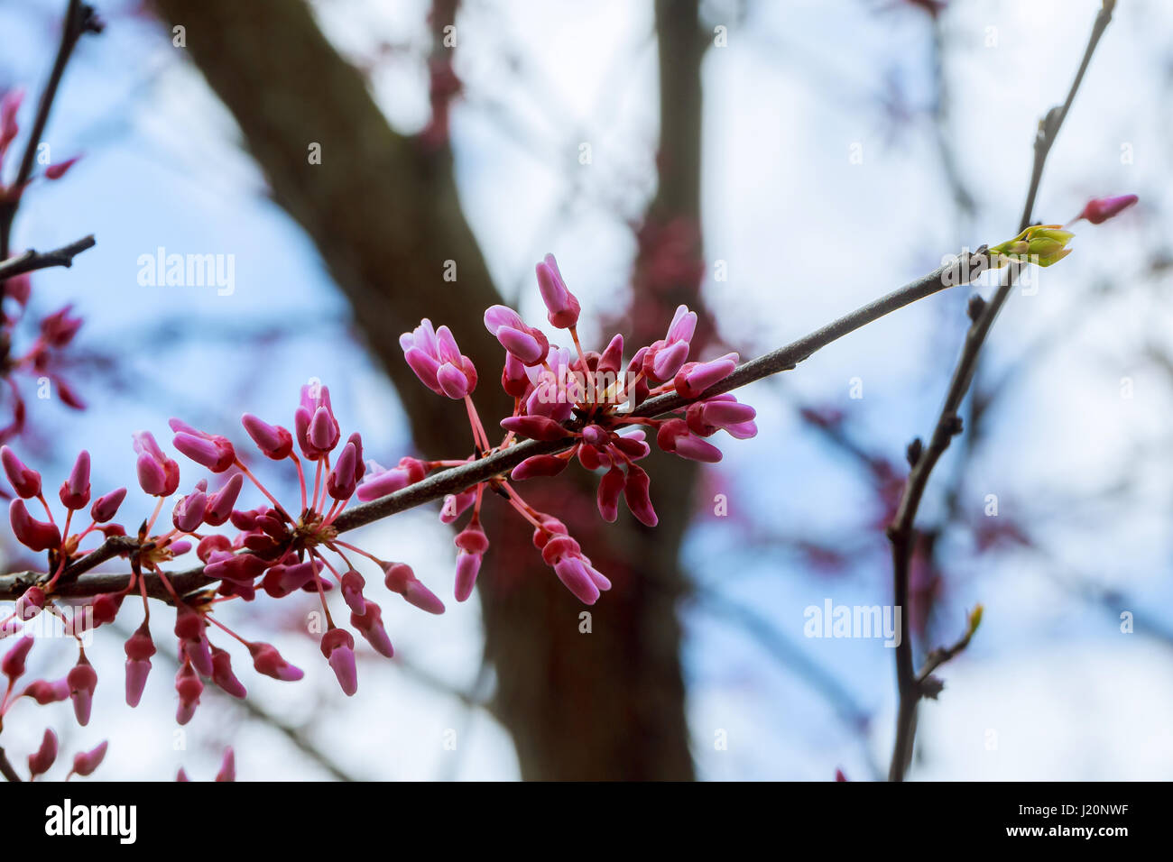 Eastern Redbud Flowering In Early Spring Spring Flowering Trees