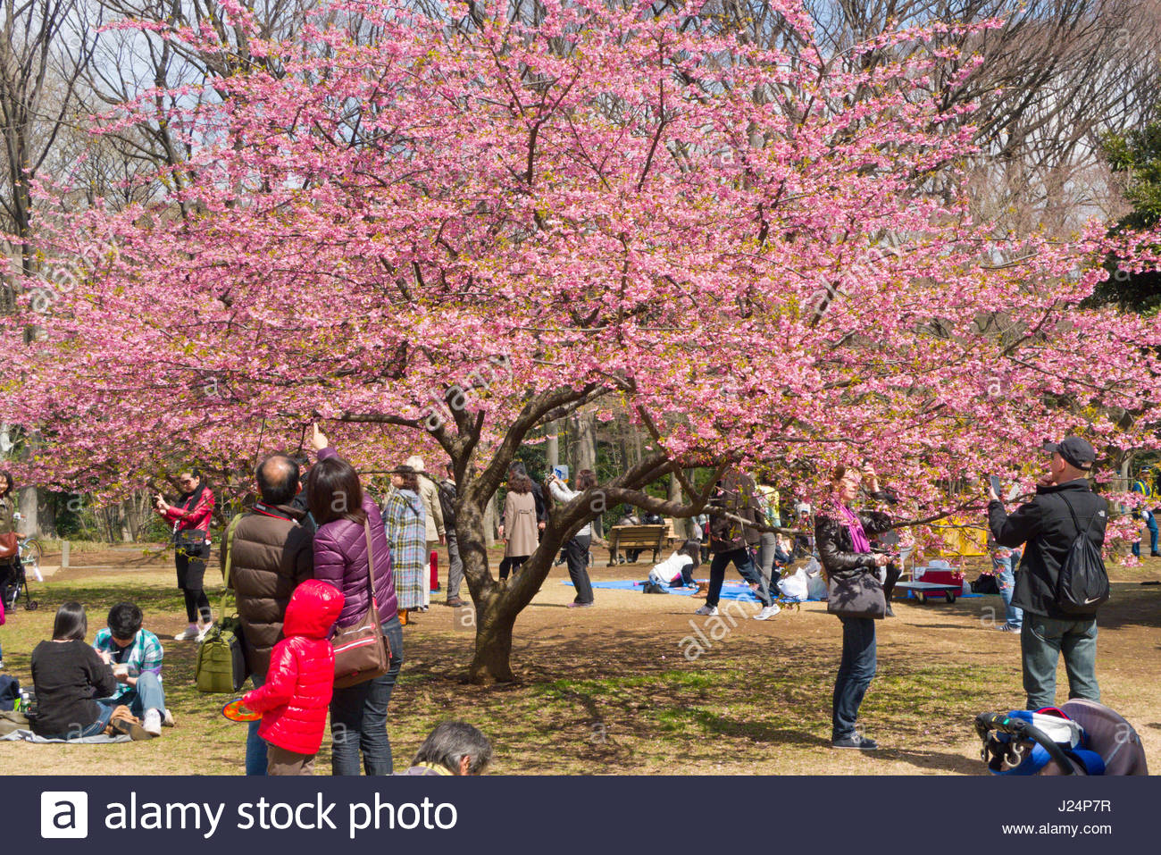Japanese People Sitting Under Cherry Trees With Pink Blossoms On A